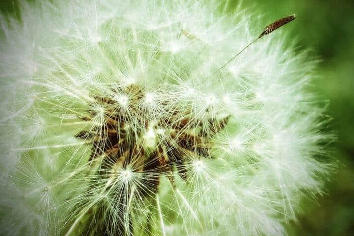 Dandelion blossom for plant spirit medicine