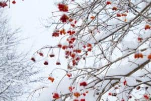 red berries and snow in winter