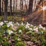 Trilium sparkling in the forest