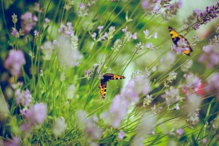 Butterflies kissing the lavender