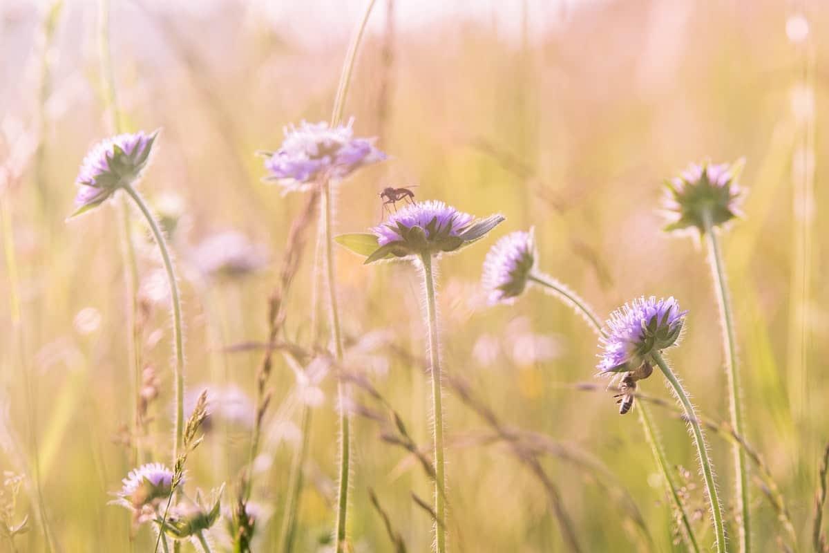 Field of little purple flowers moving in the breeze