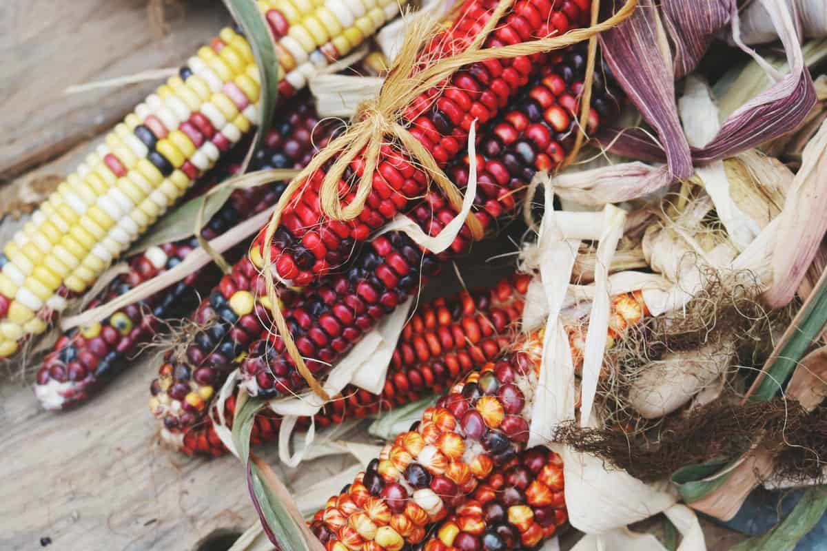 Red, Yellow, Purple Harvested Corn