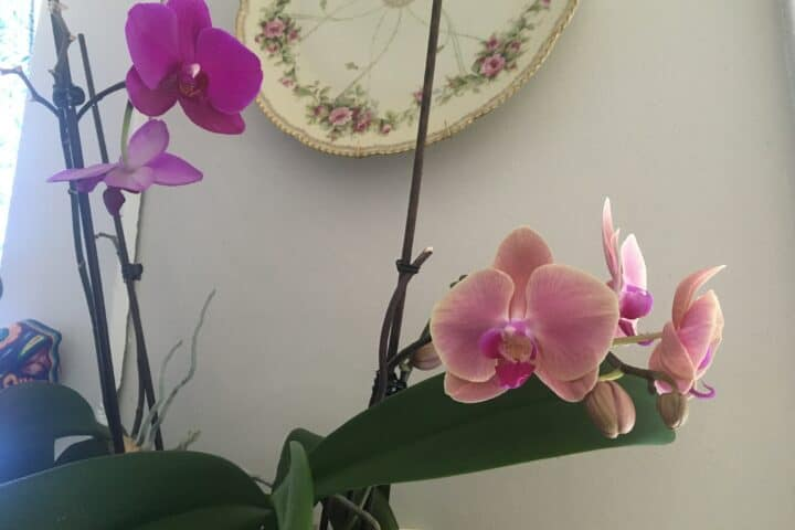 budding orchid